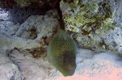 Anguilla di moray gigante Immagini Stock