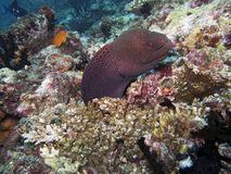 Anguilla di moray gigante (Gymnothorax Fotografia Stock Libera da Diritti