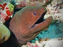 Anguilla di moray gigante nei Maldives Fotografia Stock Libera da Diritti