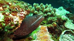 Anguilla di moray macchiata Immagine Stock