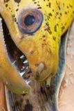 Anguilla frenetica Fotografie Stock Libere da Diritti