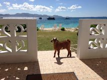 Anguilla Guesthouse Goat Stock Photography