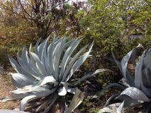 Anguilla nature cactus. Green bush tree Royalty Free Stock Images