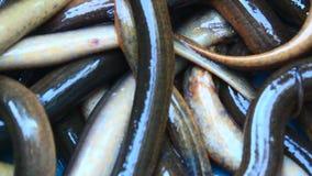 anguille banque de vidéos