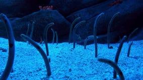 Anguille che ondeggiano in corrente archivi video