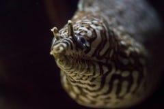 Anguille de léopard Photographie stock libre de droits