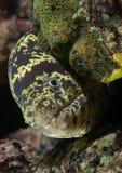 Anguille de moray à chaînes sur un récif. Photos libres de droits
