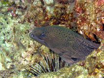 Anguille de Moray. Image stock