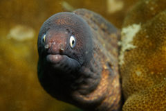 Anguille de Moray Images stock