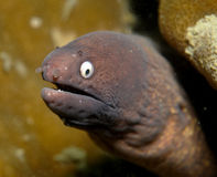 Anguille de Moray Image libre de droits
