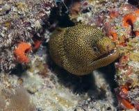 Anguille de Moray photographie stock libre de droits