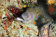 Anguille de Moray Photos stock