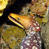 Anguille de Moray Photos stock