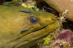 Anguille de Moray images libres de droits