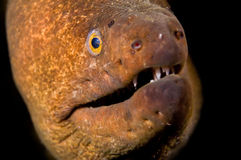 Anguille de Moray image stock