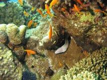 Anguille de Moray Image stock