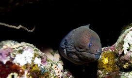 Anguille de moray de la Mer Rouge Image libre de droits