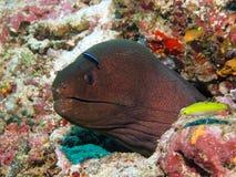 Anguille de Moray géante Image libre de droits