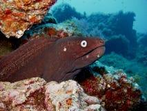 Anguille de Moray noire - La Palma - Espagne Photos libres de droits
