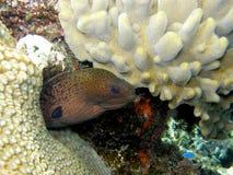 Anguille de Moray verte géante Fiji Photographie stock