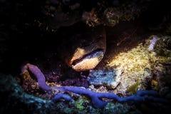 Anguille de Mray Espèce marine Photos libres de droits