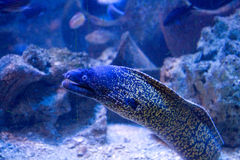 Anguille de Muraena   Photographie stock