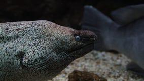 Anguille de Muray pompant et regardant fixement le fotographer clips vidéos
