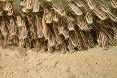 anguille de poisson-chat barrée photo libre de droits