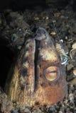 Anguille de serpent avec la crevette sur la tête Photographie stock libre de droits