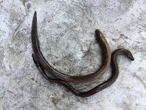 Anguille vietnamienne de marais, albus de Monopterus Photographie stock