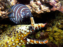 Anguilles Photos libres de droits