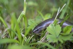 anguis脆弱类的慢的蠕虫 图库摄影