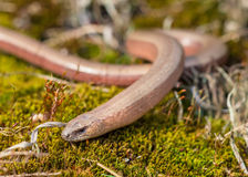 Anguis fragilis at Veluwe Netherlands Royalty Free Stock Image