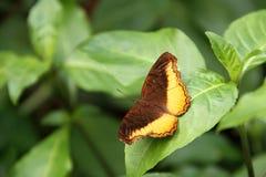 Angulata dourado de Piper Eurytela Dryope da borboleta Imagem de Stock
