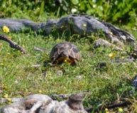Angulate фуражировать черепахи Стоковое Изображение RF