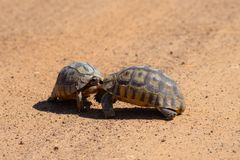 Angulate черепахи воюя в Африке стоковое фото