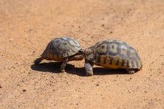 Angulate черепахи воюя в Африке стоковая фотография