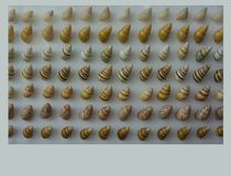 Angulate Periwinkle Seashell Collection on Display. The common nutmeg, Cancellaria reticulata, is a species of medium-sized to large sea snail, a marine stock photo