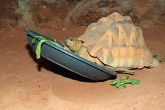 Angulate Schildkröte Stockfotos