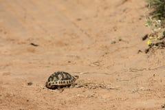 Angulate Tortoise, Νότια Αφρική Στοκ φωτογραφία με δικαίωμα ελεύθερης χρήσης