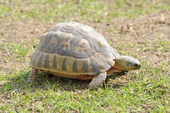 Angulate Tortoise Stock Photo