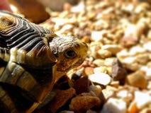 Angulate Tortoise 1 Στοκ εικόνα με δικαίωμα ελεύθερης χρήσης