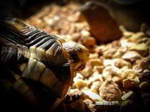 Angulate Tortoise 2 Στοκ φωτογραφία με δικαίωμα ελεύθερης χρήσης
