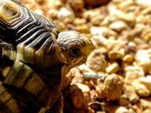 Angulate Tortoise 3 Στοκ φωτογραφίες με δικαίωμα ελεύθερης χρήσης