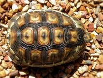 Angulate Tortoise 4 Στοκ Φωτογραφίες