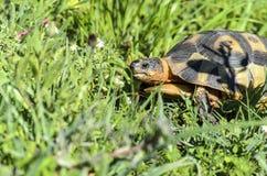 Angulate tortoise Stock Photo