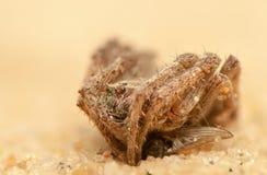 Angulatus Araneus Στοκ Εικόνες