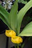 Anguloa-clowesii Orchidee stockfotos