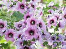 angulosum bodziszków pelargonium Fotografia Royalty Free