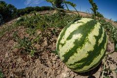 Anguria coltivata fresca Fotografia Stock Libera da Diritti